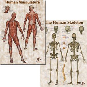 Human Musculature & Skeleton Poster
