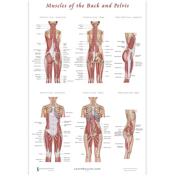 Muscles of the Back and Pelvis Poster