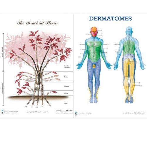 Brachial Plexus and Dermatomes Poster