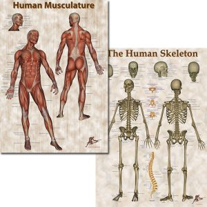 Human Musculature & Skeleton Poster