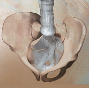 Fascia of the pelvic floor
