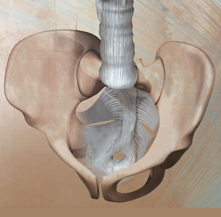 Fascia of the pelvic floor